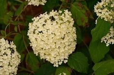 Hydrangea arborescens -   The Cherokee Indians used this as a remedy for kidney stones, and early settlers were introduced to it for this use by the Indians. It is said to have diuretic properties:  common uses as a medicinal herb are cystitis, urethritis, urinary calculi, prostatitis, and gravel in the kidneys...A physician & herbalist, Ellingwood, demonstrated to the medical community that hydrangea had the ability to remove gravel deposits. It also eased the pain associated with the…