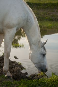 Equine Photography - White horse