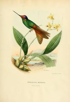 v. 1 (1874) - Histoire naturelle des oiseaux-mouches, ou, Colibris constituant la famille des trochilidés / - Biodiversity Heritage Library