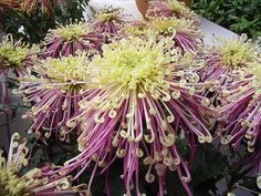 Chrysanthemum Flower Pictures - White, Red Chrysanthemum Flowers - My site Chrysanthemum Flower Pictures, Japanese Chrysanthemum, Flower Art Images, Flora Flowers, Exotic Flowers, Beautiful Flowers, Unusual Plants, Exotic Plants, Blossom Garden