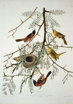 Olde Time Mercantile Audubon Orchard Oriole Bird Art Print - 7 in x 10 in Unmatted Audubon Prints, Audubon Birds, Oriole Bird, Birds Of America, John James Audubon, Vintage Wall Art, Vintage Prints, Bird Prints, Bird Art