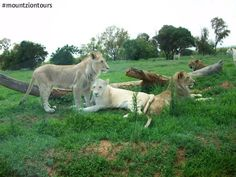 The Lion Park offers remarkable close encounters with lions. Do you want to interact with lions? Contact us, we can take you there. Close Encounters, Lions, 4x4, Safari, Horses, Park, Animals, Animales, Lion