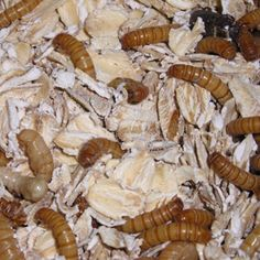 Raising crickets and mealworms. A cute and informative site, with links on the homepage to order insects and recipes.