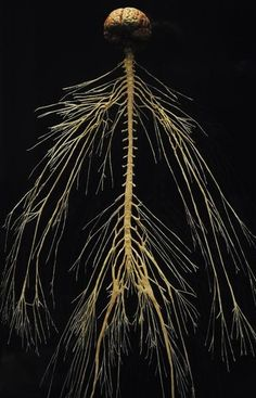 The central and peripheral nervous system of a plastinated cadaver.