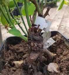 Stell av roser - Planting, Plants