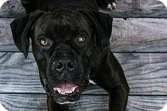 Cincinnati, OH - Boxer. Meet Ray, a dog for adoption. http://www.adoptapet.com/pet/18274992-cincinnati-ohio-boxer