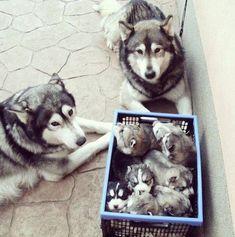 dog, puppy, and husky image Siberian Husky Puppies, Husky Puppy, Siberian Huskies, Alaskan Malamute Puppies, Cute Puppies, Cute Dogs, Dogs And Puppies, Doggies, Beautiful Dogs