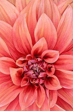 quenalbertini: Amaranto - Photographic Print by JHRphotoART Peach Colors, Coral Color, Coral Pink, Orange Color, Yoga Studio Design, Peach Aesthetic, Live Coral, Color Of The Year, Pantone Color