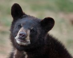 A beautiful close up of a black bear cub in the Smoky Mountains