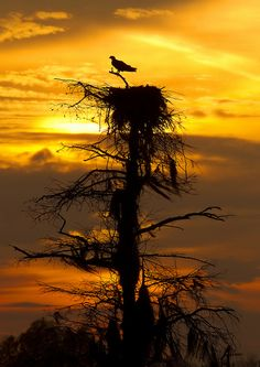 lone bird on lone tree at sunset.