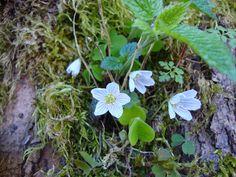 Oxalis acetosella http://lefotodiluisella.blogspot.it/