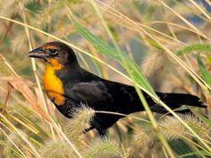 Yellow-headed Blackbird Xanthocephalus xanthocephalus ORDER: PASSERIFORMES FAMILY: ICTERIDAE  © Albert Ovo, Edwin B. Forsythe NWR, Oceanville, New Jersey, September 2010, http://www.flickr.com/photos/albertovo5/5024702610/