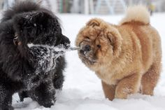 """Chow - Chow...Dog , """"... that licked the edge of the sky ..."""""""