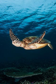 Pacific green turtle by Alessandro Cere Land Turtles, Cute Turtles, Sea Turtles, Ocean Turtle, Turtle Love, Pacific Green, Beautiful Sea Creatures, Deep Blue Sea, Ocean Creatures