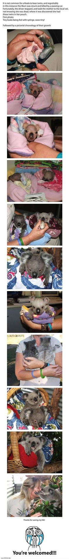 The mother koala was killed by a car, but the driver stopped and took her in to the vet who discovered twin babies - rare - in her pouch that could be saved!