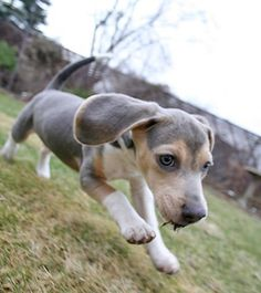 blue beagles for sale | Baxter the Amazing Blue Beagle! Pictures 588