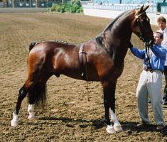 Show Horse Gallery - RD Kohav hackney My Horse, Horse Tack, Hackney Horse, American Saddlebred, All About Horses, Horse Breeds, Wild Horses, Show Horses, Zebras