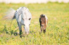 Appaloosa Pony mare Ravenna and her foal