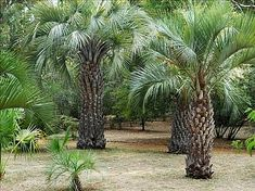Butia capitata is a great palm for small spaces. Tought and rugged and can be combined with Mediterranean shrubs as well as succulents. Tropical Landscaping, Tropical Garden, Tropical Plants, Garden Landscaping, Florida Plants, Florida Gardening, Tree Fern, Landscape Design Plans, Unique Plants