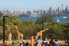 Things to Do in Sydney - Ultimate City Guide The World Class Taronga Zoo is situated on Sydney Harbour - Things to do in Sydney, AustraliaThe World Class Taronga Zoo is situated on Sydney Harbour - Things to do in Sydney, Australia Visit Australia, Australia Travel, Oh The Places You'll Go, Cool Places To Visit, Melbourne, Jolie Photo, Dream Vacations, Travel Around The World, Strand