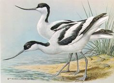 Avocet - 1980 Vintage Bird Print by Basil Ede
