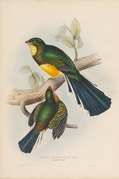 Hand-coloured lithographic plates of Trogon bird species from the 1830s by John Gould.