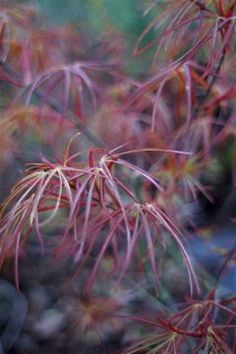 Acer Red pygmy