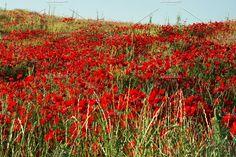 Poppy field by TalyaPhoto on @creativemarket