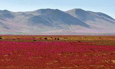 El retorno del desierto florido - Atacama desert, Chile.