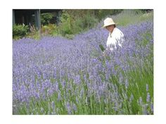 Vashon Island lavender garden