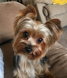 Beautiful stylish handcrafted jewellery and accessories are available for yorkshire terrier owners! Yorky Terrier, Yorshire Terrier, Bull Terriers, Yorkies, Yorkie Puppy, Teacup Yorkie, Havanese Dogs, Perros Yorkshire Terrier, Cute Puppies