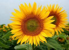 Slunečnice (Helianthus)