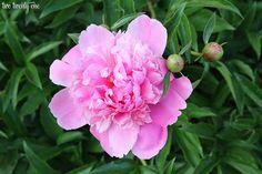 pink peony on twotwentyone dot net blog. Good information on growing peonies.