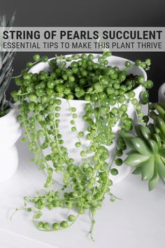 House Plants 991581 Learn how to care for string of pearls. Caring for string of pearls plants isn't that hard. Your string of pearls will thrive with my tips! Succulent Gardening, Succulent Care, Cacti And Succulents, Planting Succulents, Container Gardening, Garden Plants, Planting Flowers, Garden Shrubs, Succulent Terrarium