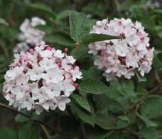 """Viburnum carlesii - Luktolvon. 1-1,5 meter hög buske som trivs i halvskugga. De doftande blommorna kommer i maj. Sorten """"Diana"""" doftar extra starkt."""