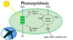 Photosynthesis:  Fun in the Sun