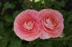 цветы в моем садике