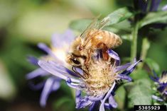 Types of Bees for Backyard Honey by Caleb D. Regan on Grit Garden Insects, Garden Pests, Herb Garden, Backyard Beekeeping, Chickens Backyard, Types Of Bees, Different Bees, Black Bee, Beekeeping