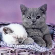 "Preciosos gatitos, ""alerta gris que blanco duerme..."" <3"