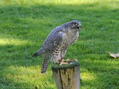 Gyrfalcon Body Length: 20-25 inches Wingspan: 4 to 4-1/2 feet