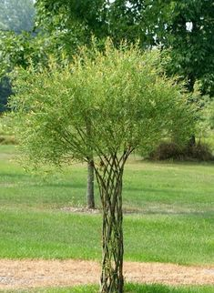 living willow tree sculpture great feature to add to a garden Garden Trees, Garden Art, Garden Plants, Lawn Swing, Espalier, The Secret Garden, Willow Tree, Willow Branches, Garden Structures