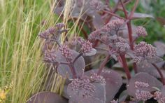 Sedum Hybride 'Karfunkelstein' - Dunkellaubige Fetthenne