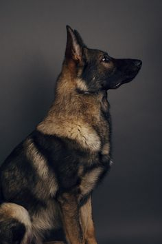 Black German Shepherd Mix with Other Dog Breeds Doberman Dogs, Doberman Pinscher, Gsd Dog, Dobermans, Funny Dogs, Cute Dogs, Malinois, German Shepherd Dogs, German Shepherds