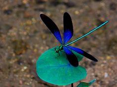libélula azul aterriza en la hoja wallpaper - ForWallpaper.com