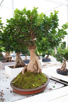 In diretta dallo showroom. Bonsai ficus ginseng 5000 gr in vaso ovale tradizionale