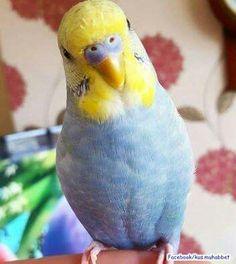 Did you get the birdie treats? Parrot Food Recipe, Parakeets, Cute Birds, Bird Feathers, Beautiful Birds, Blue Bird, Third, Animals, Birds