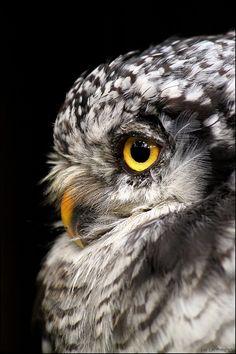 Northern hawk owl. by Evey-Eyes on deviantART