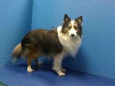 CHARLIE is an adoptable Shetland Sheepdog Sheltie Dog in Brooklyn, NY.  ...