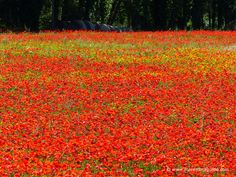 Tuscany poppies in bloom mid May in Maremma