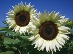 Flowers And Garden Ideas : coconut ice sunflower almost white! Flowers And Garden Ideas : coconut ic Happy Flowers, White Flowers, Beautiful Flowers, Exotic Flowers, Yellow Roses, Purple Flowers, Pink Roses, Sunflower Pictures, Sunflower Colors
